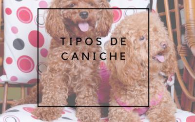 Tipos de caniche: Grande, mediano, enano y toy