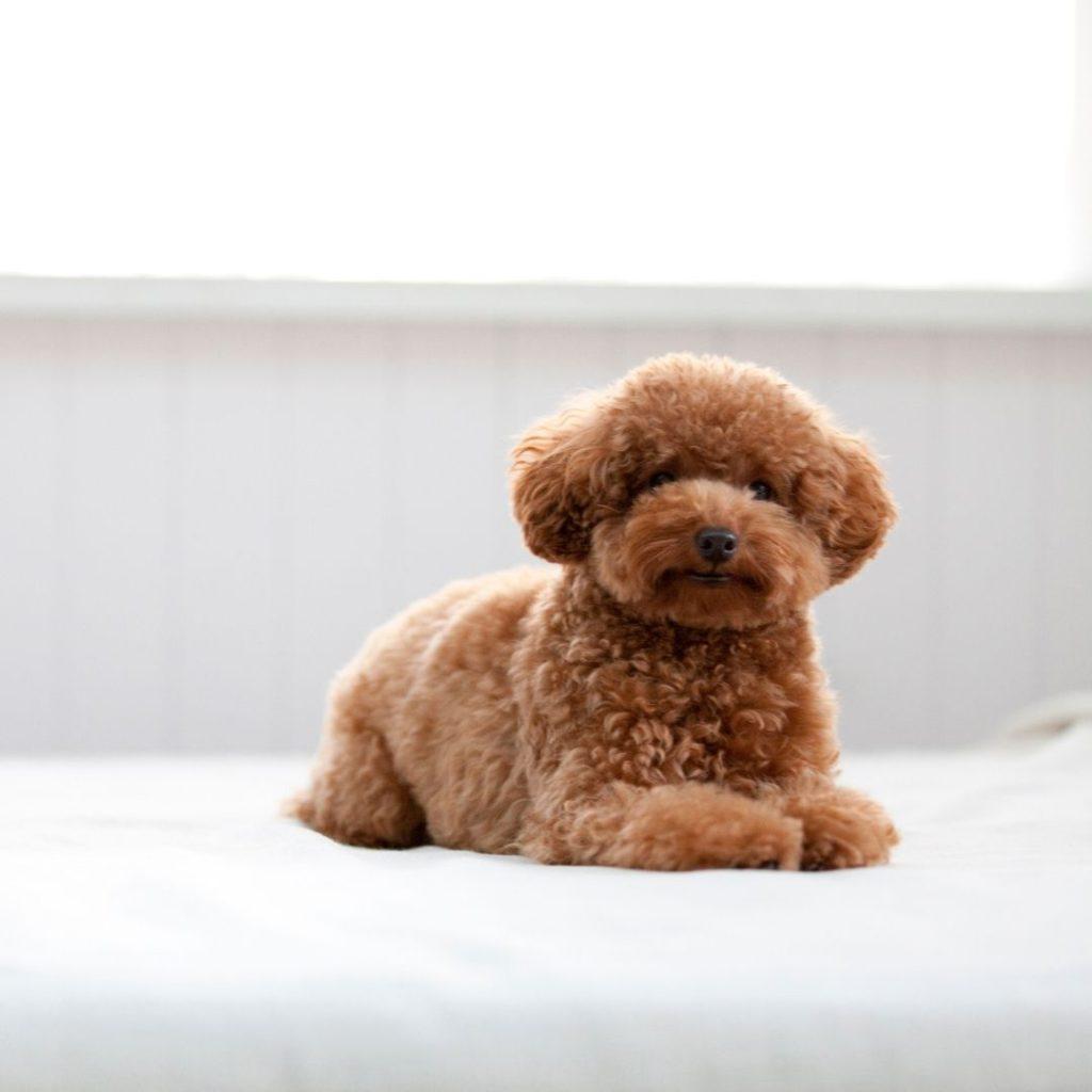 caniche corte puppy