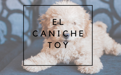 El caniche toy